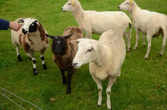 A nakonec holandské ovečky